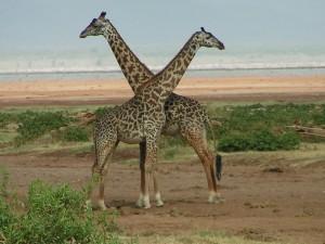 giraffe_lookup